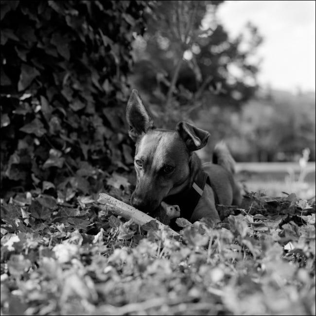 Um retrato em preto e branco de um cachorro jovem.